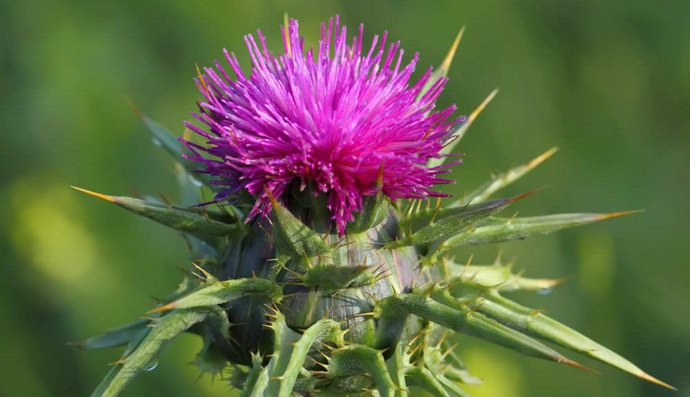 milk-thistle-closeup