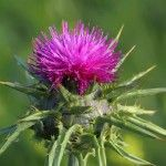 4 Remarkable Milk Thistle Benefits