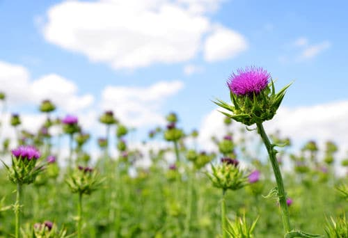 Natural Food With Milk Thistle