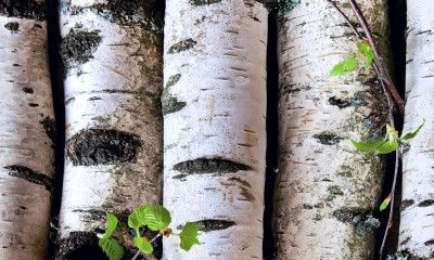 Have You Heard of Birch Water for Detox?