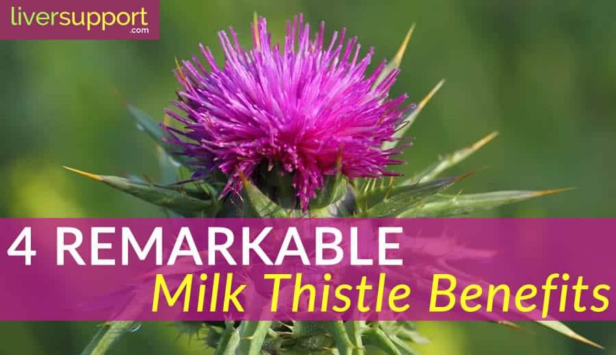 4 Remarkable Milk Thistle Benefits Liversupport Com
