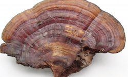 Reishi Mushrooms Are Valuable for Liver Health