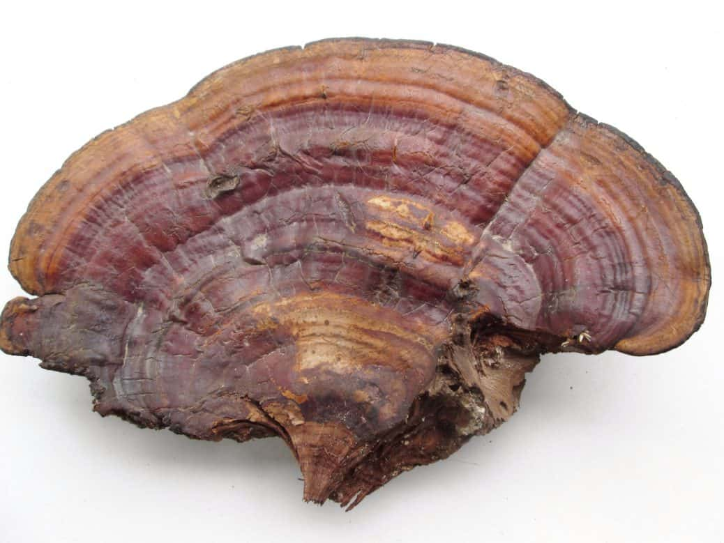 Reishi Mushrooms Can be Valuable for Liver Health