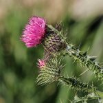 7 Ways Milk Thistle Supports Your Health