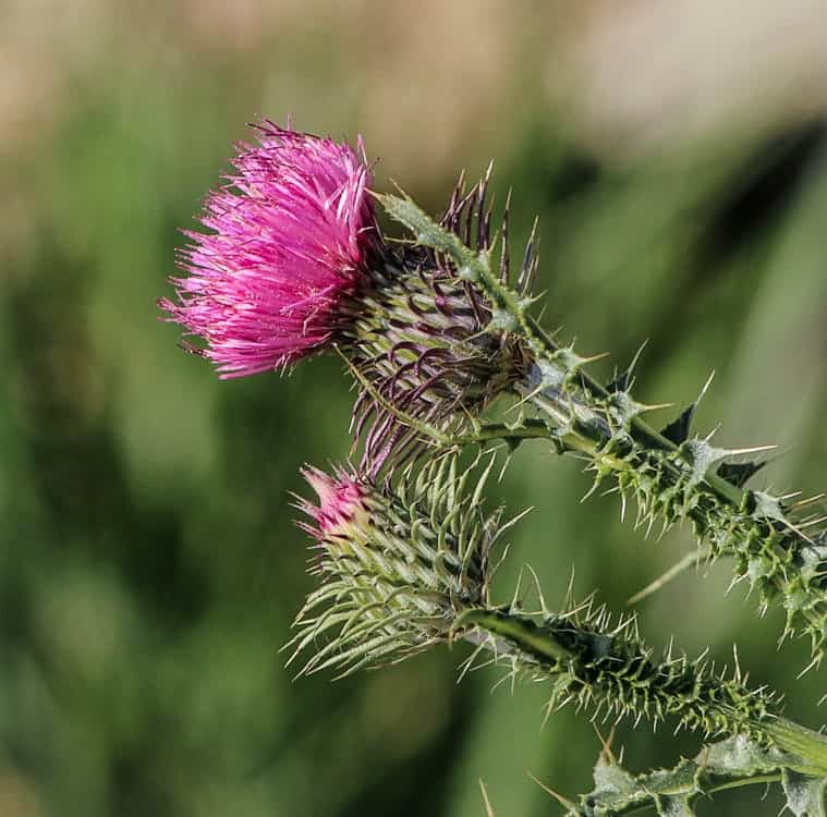 Supplementing with milk thistle can help treat your liver pain and improve liver function.
