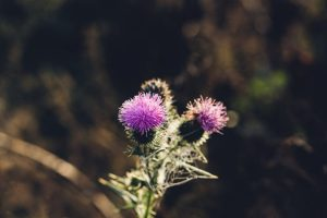 Milk Thistle Clears Skin