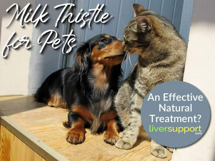 Milk Thistle for Pets: An Effective Natural Treatment?